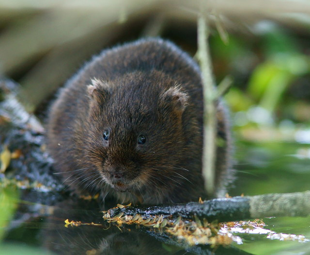 Water Vole at Arundel, Sussex