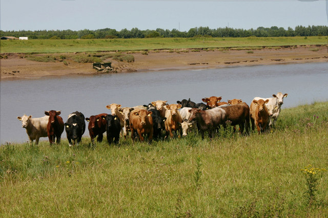 Livestock beside River Great Ouse