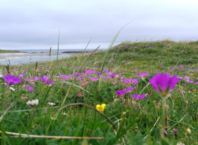 The machair in bloom at Traigh Halum