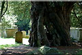 TQ3947 : The Crowhurst Yew, Crowhurst, Surrey by Peter Trimming