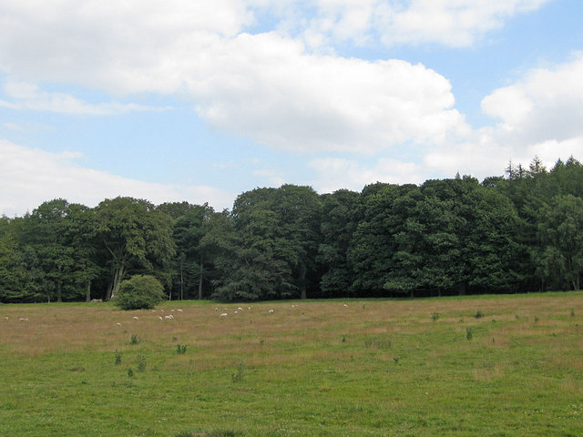 Sheep grazing in parkland