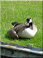 SJ9252 : Canada Goose near Endon, Staffordshire by Roger  Kidd