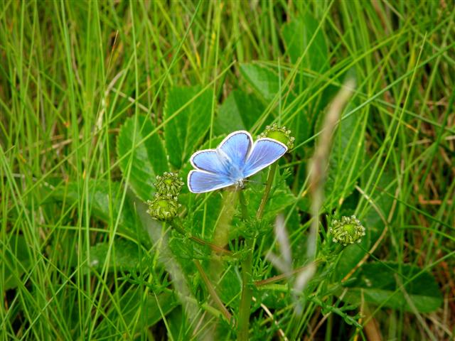 Cupido minimus (The Small Blue butterfly)