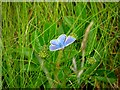B8447 : Cupido minimus (The Small Blue butterfly) by Kenneth  Allen