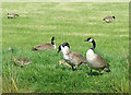 SJ9353 : Canada geese near Endon Bank, Staffordshire by Roger  Kidd