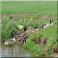 SJ9353 : Canada geese by the Caldon Canal near Endon Bank by Roger  Kidd