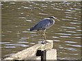 TQ1977 : Grey Heron (Ardea cinerea)  by Christine Matthews