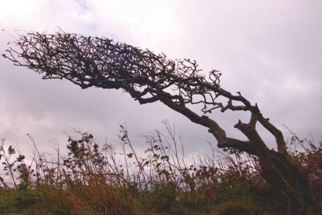 Wind-bent tree