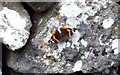 SK1769 : Red Admiral Butterfly by Jonathan Clitheroe