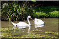 TL3707 : Pair of Mute Swans, The New River, Broxbourne, Hertfordshire by Christine Matthews