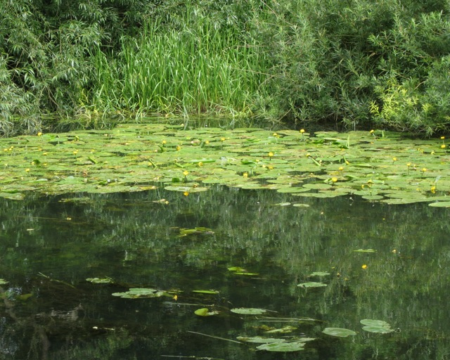 Water-lilies on the Leam: 2