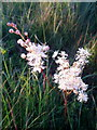 SU1221 : Meadowsweet, Whitsbury Down by Miss Steel