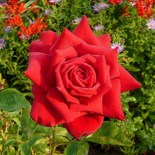Red rose perfection