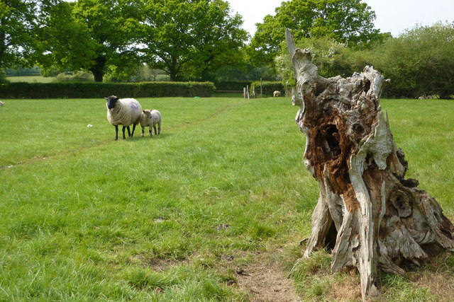 Treestump with sheep