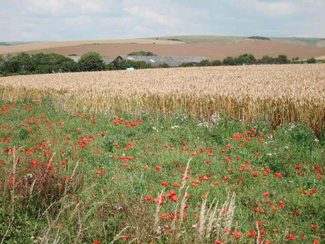 Poppies by Bishopstone Road