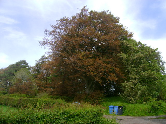 Windburned trees