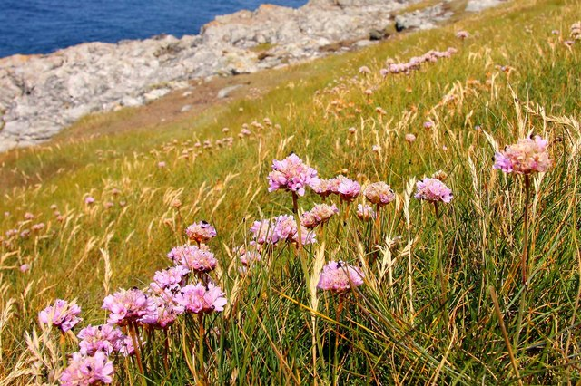Thrift on Pentire Point West