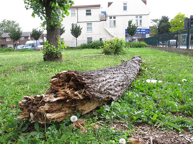 Fallen lime tree trunk