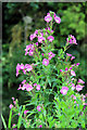 TL3807 : Rosebay Willow Herb (Epilobium angustifolium), River Lee Navigation, Hoddesdon by Christine Matthews