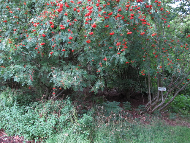 Rowan fruit