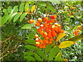 SU2516 : Ripening Rowan, Pipers Wait by Miss Steel