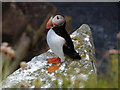 NC9265 : Puffin near Middle Clett by sylvia duckworth