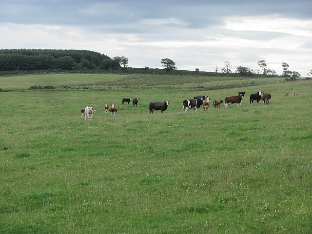Cattle near Bogbank