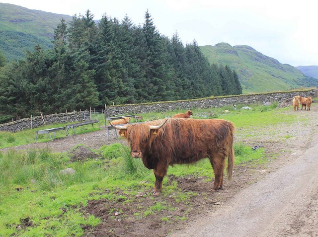 Highland cattle on Achadunan Estate