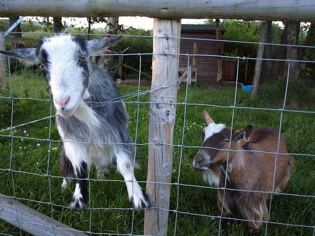 Goats at the Rugglestone