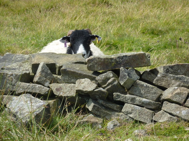 Ear -ringed sheep