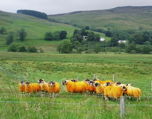 'Eggy' sheep in Glen Quaich