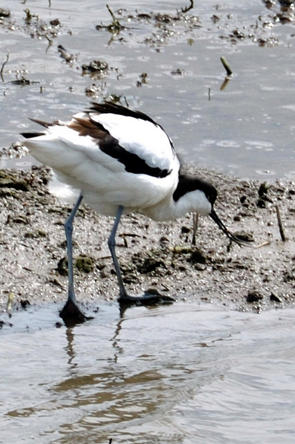 An Avocet at Titchwell - RSB reserve