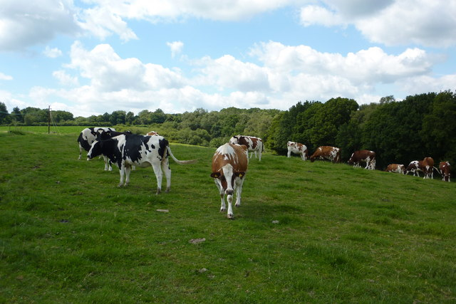 Cows, Nr Warr's wood