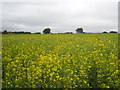 SX0572 : Oil seed rape at Menkee by Rod Allday