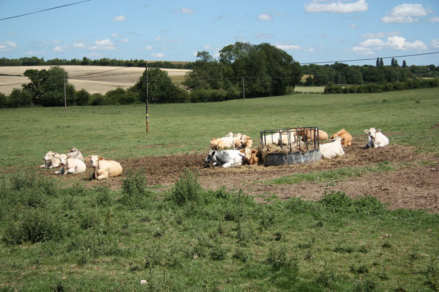Beesthorpe cattle