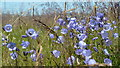 SO0760 : Harebells on Little Hill : Week 30