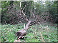 TQ4287 : Felled Tree by Roger Jones