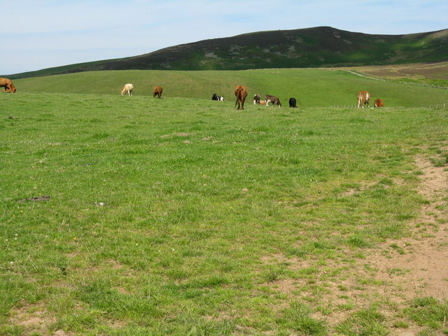 Cattle grazing near the Thorter Burn