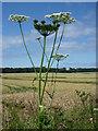 NT6083 : East Lothian Landscape : Roadside Flora on the Scoughall Road : Week 30