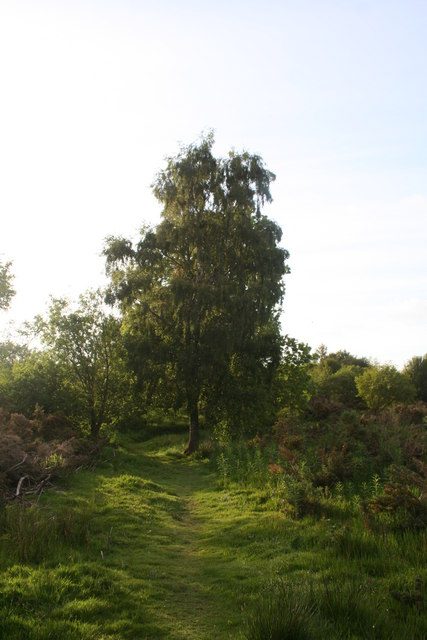 Lone Birch