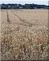 SE4203 : Field of gold, Broomhill by Steve  Fareham