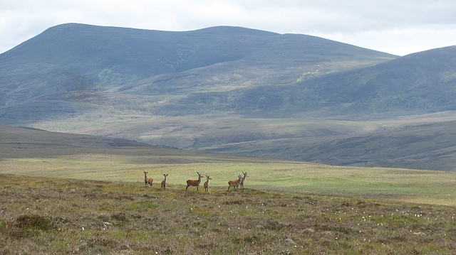 Deer, Halliagarry Hill