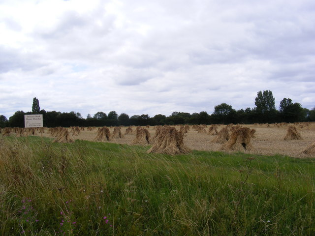 Field of stooks for thatching