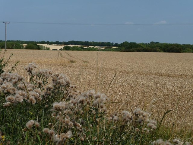 Thistles at the edge of a wheatfield