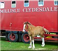 NX4254 : Millisle Clydesdale by Andy Farrington
