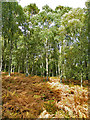 NN7822 : Birch and Bracken by Anne Burgess