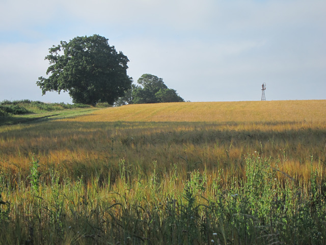 Barley field by Bradford's Lane