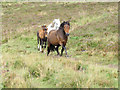 SX6981 : Dartmoor ponies near Hookney Tor by Stephen Craven