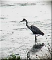 SE4107 : Grey Heron, RSPB Edderthorpe Flash by Steve  Fareham