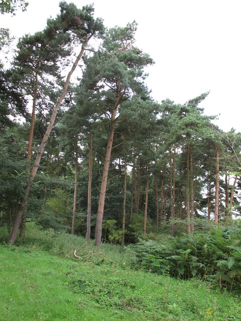 Conifers at Mower's Spinney